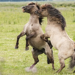Horse Fighting is Not Entertainment. It Is Torture.