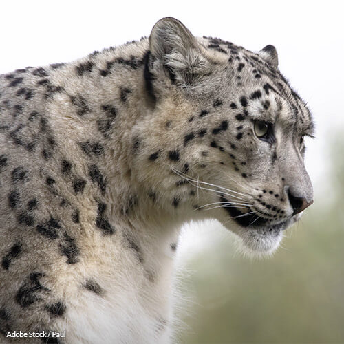 Speak Up for Snow Leopards!