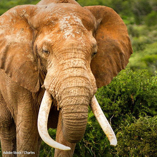 Help Make Massachusetts the Seventh State to Stop the Illegal Ivory Crisis