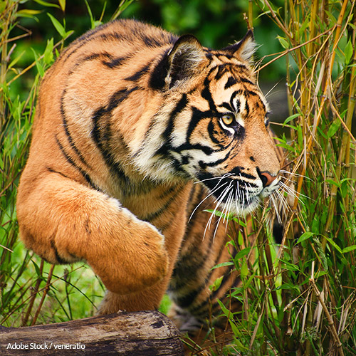 Save Sumatran Tigers From Extinction!