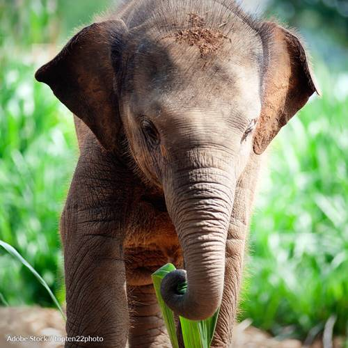 End the Suffering at Thailand's Surin Elephant Festival!