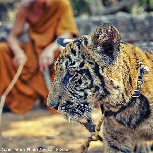 Tell the Thai Government that the Tiger Temple and Tiger Temple Company Ltd. must never be trusted with tigers again!