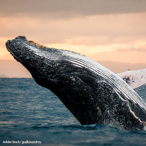Save Whales In The Atlantic!
