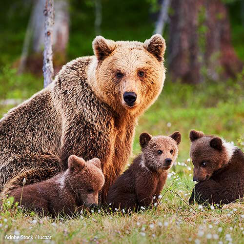 Congress is allowing extreme methods to kill grizzlies, black bears, and wolves in Alaska - for terrible reasons.