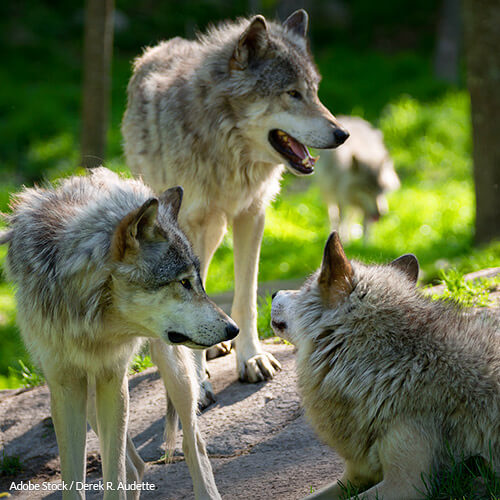 Protect Gray Wolves from Hunters by Restoring ESA Protections!