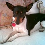 Luther, the rat terrier