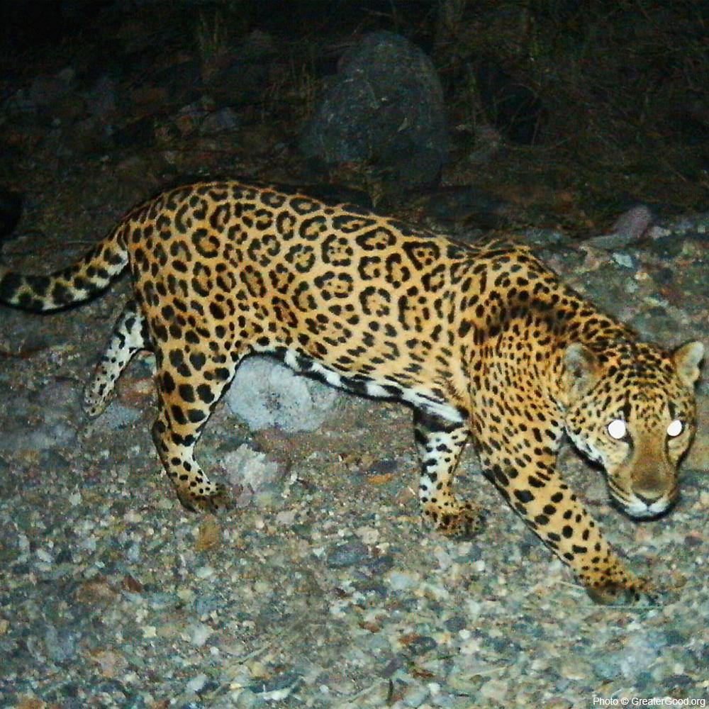 Project Wildcat: Protect Jaguars in the Sonoran Desert