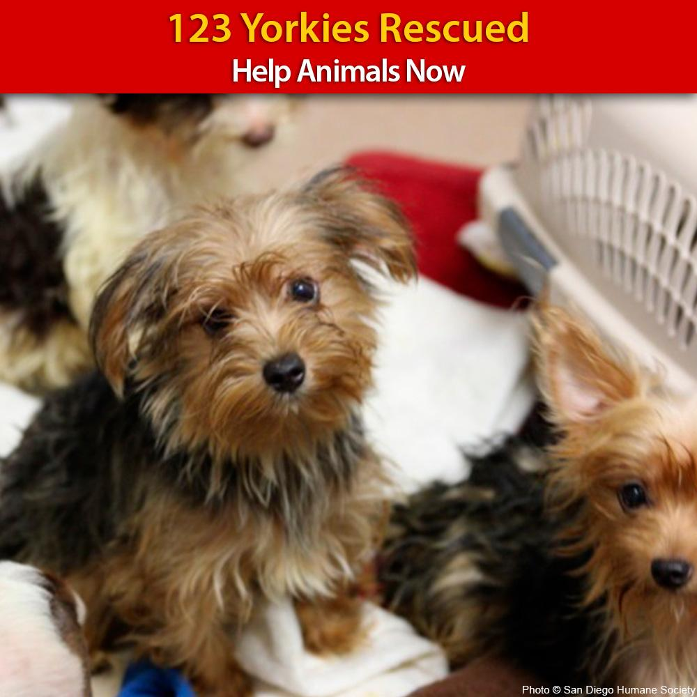 123 Yorkie Dogs Were Rescued From A Heart Breaking Hoarding Case And