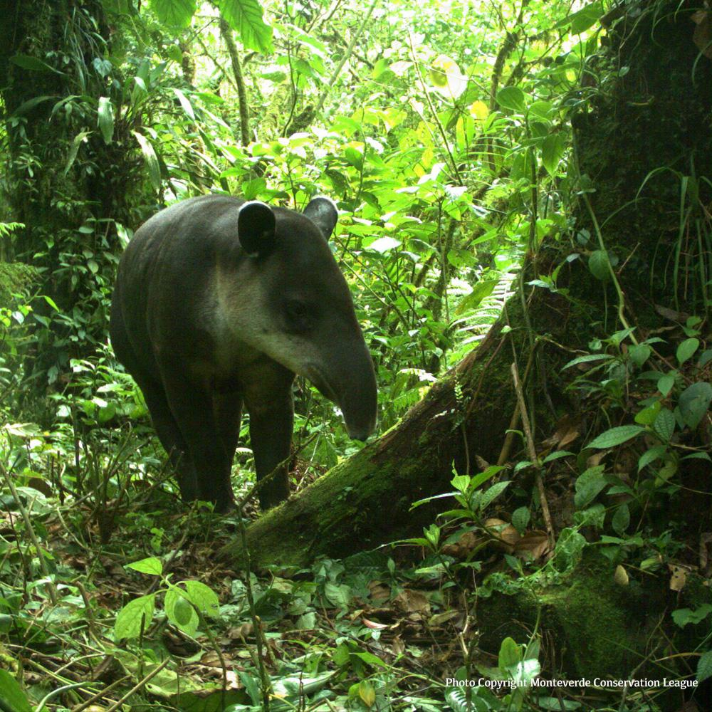 endangered animal tapir Endangered status some endangered facts size 6 to 8 feet length of adult tapir tapirs are nocturnal animals that like to spend a lot of time in the water.