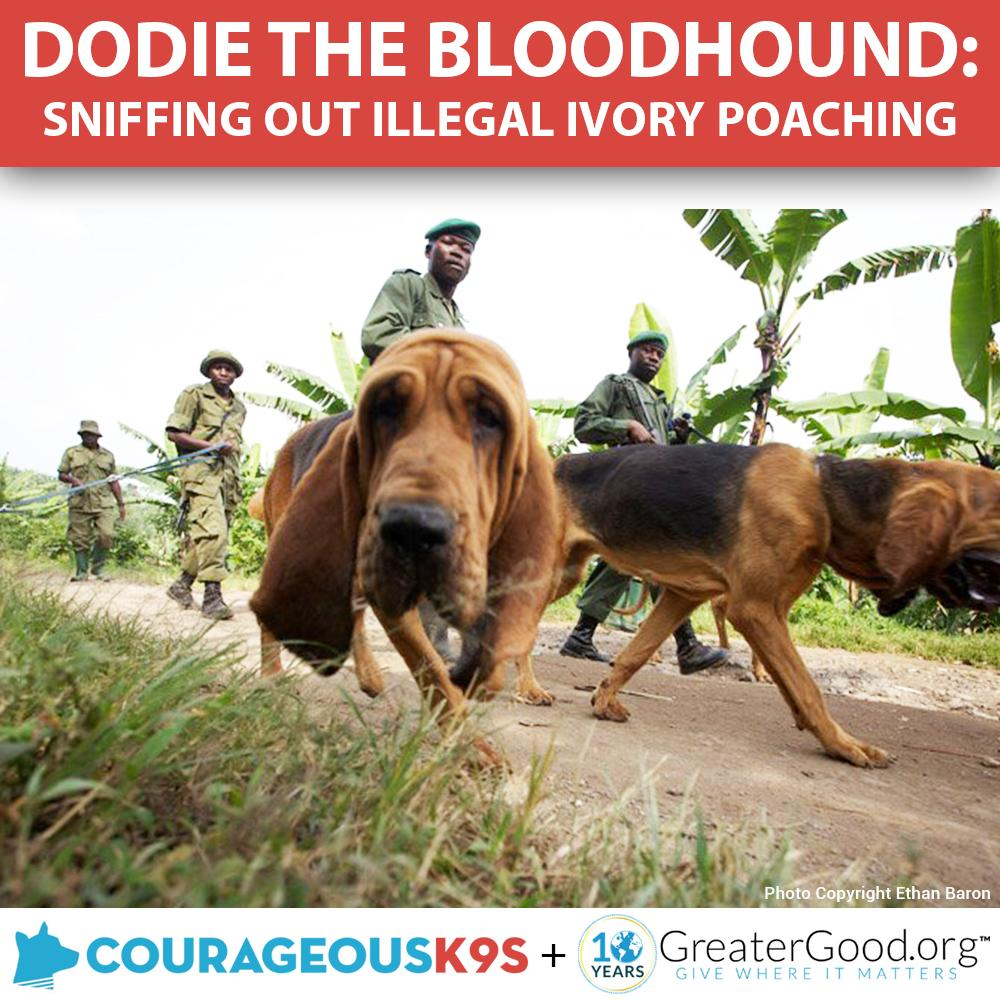 Help Dodie the Bloodhound Stop Ivory Poaching!